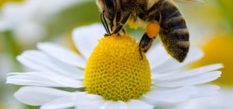 La extinción de las abejas