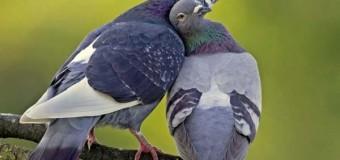 Las palomas son más listas de lo que se cree