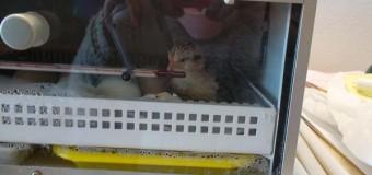 Han nacido los pollitos