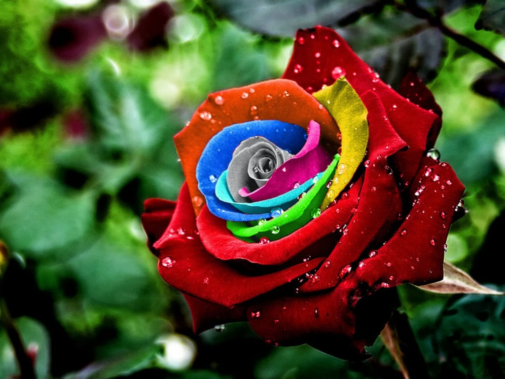 colorful rose wallpaper82394